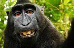 Prise par un macaque, une photo se retrouve au coeur d'une bataille juridique